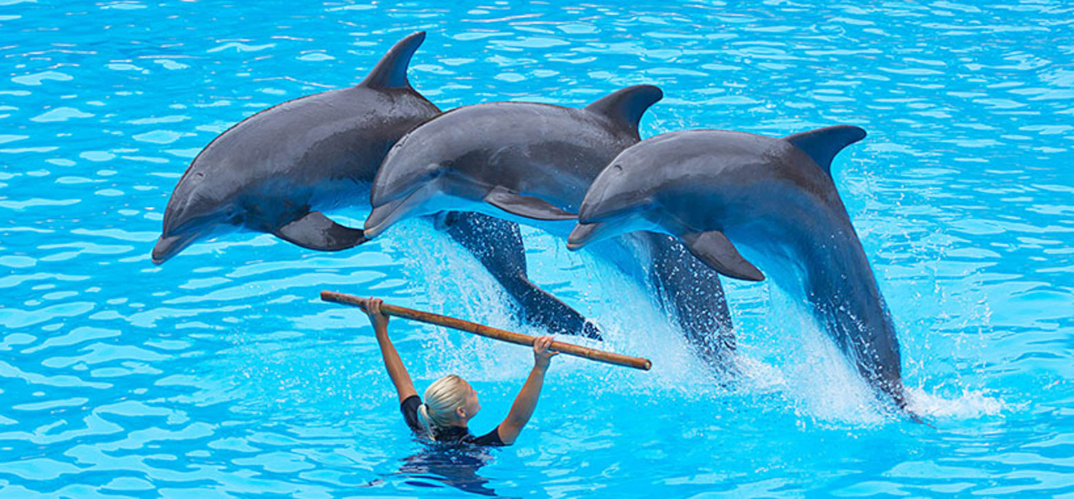 Dolphins at Seaworld jumping over a trainer